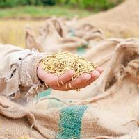 closeup rice on hand,farmer