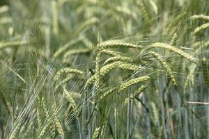 maturing barley