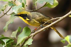 mielero con casco, pájaro, australia, en peligro crítico