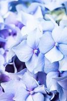 macro de hortensias