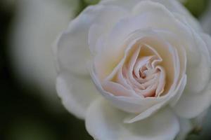 white rose photo