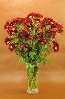 Red chrysanthemum; Dendranthemum grandifflora. photo