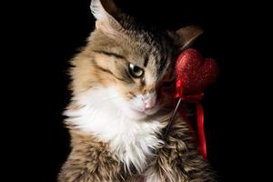 fluffy beautiful young сat with heart on a black background photo