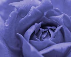 rosa violeta con gota de agua foto
