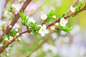 flor de cerezo sakura