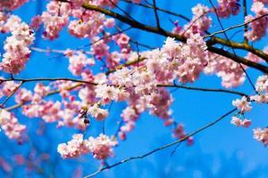 Sakura flores desabrochando. linda flor de cerejeira rosa