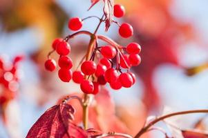 Macro image of red viburnum berries photo