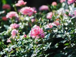 rozen in de tuin