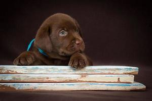Chocolate labrador puppy lying on the colored boards. Brown background. photo