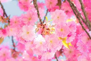 Sakura Cherry blossoms photo