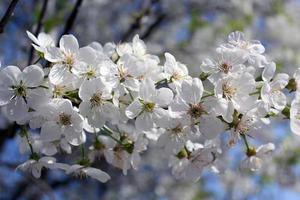 tak van bloeiende kersen