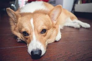 corgi dog photo