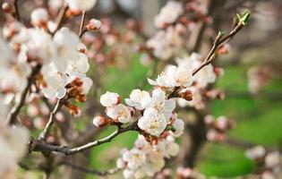 Flowers of cherry tree