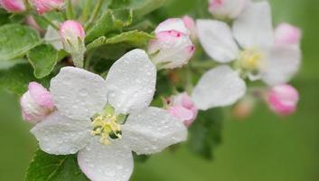 Blossoming apple. photo