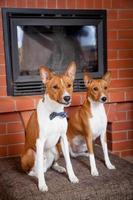 Two basenjis next to the fireplace