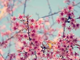Pastel tones Spring Cherry blossoms with retro filter effect photo