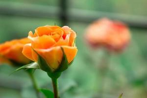 Orrange  rose