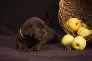 Chocolate labrador puppy lying on a brown background near basket photo