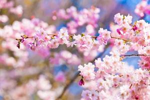 Sakura flowers blooming. Beautiful pink cherry blossom photo