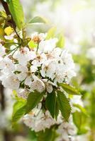 Rama de cerezo en flor en tonos de enfoque selectivo fotográfico