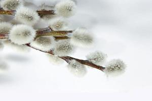 Willow branch with catkins photo