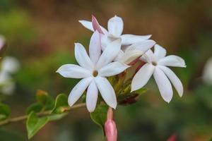White Jasmine flowers in garden photo