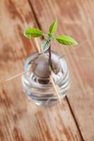 abacate em germinação - parte 4