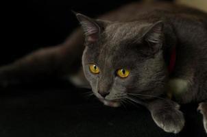 Scary gray Cat photo