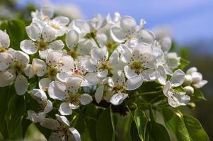 Flowering pear branch in the garden photo