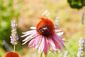 Butterfly on Echinacea flower photo