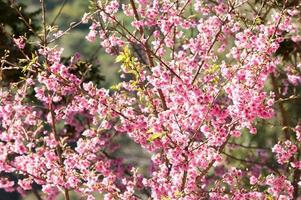Sakura flowers blooming photo