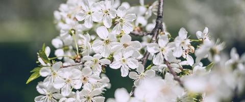 Flowers of blossom tree photo