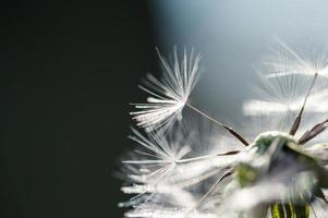 Macro image of dandelion, small depth of field