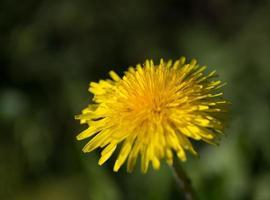 Pissenlit jaune photo