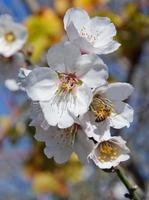Bee and white almond flower photo