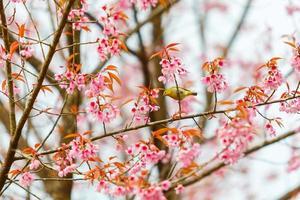 Bird on Cherry Blossom and sakura
