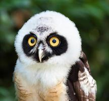 Portrait of Spectacled Owl photo