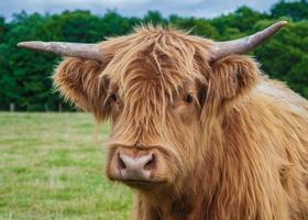Highland Cattle photo