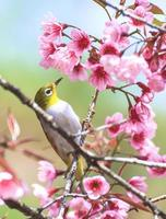 Yellow warbler bird sitting on a cherry tree branch photo