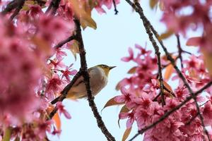 white-eye bird on twig of pink cherry blossom (sakura) photo