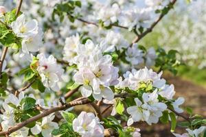 Flowering branch of apple-tree in the spring garden photo