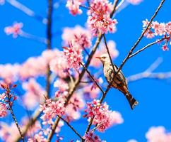 White-headed Bulbul and Sakura