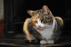 gato tricolor yace en el piano foto