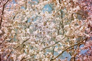 background cherry blossoms photo