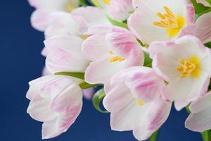 Pink tulips photo