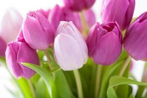 beautiful purple tulip flowers