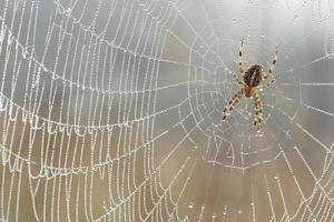Cruz araña en tela de araña con gotas de rocío closeup