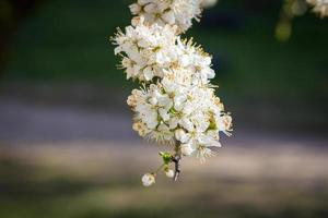 Flowers of the cherry blossoms on a spring day photo