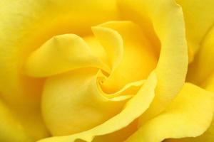 Yellow rose swirl photo