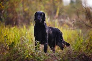 Black retriever stands among autumn grass photo